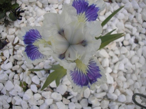 I bought them from Cayeux Iris. The white gravel chips aren't the best background for this one!