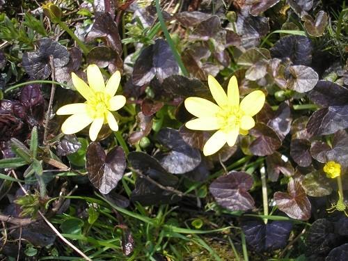 Ranunculus Brazen Hussy