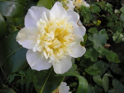 Camellia Juries Yellow