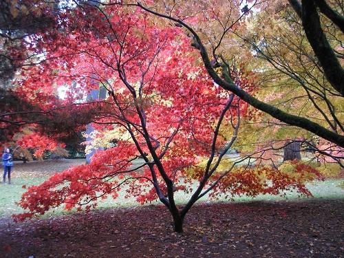 Acer glade