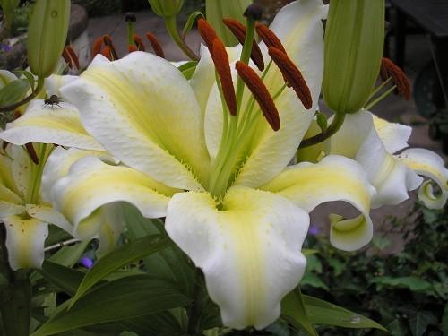 auratum flower