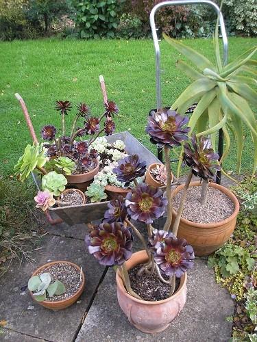 Non hardy plants