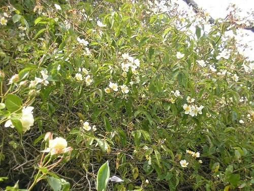mulligani flowers