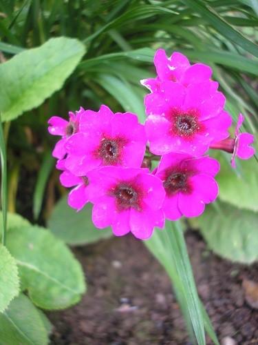 P.pulverulenta