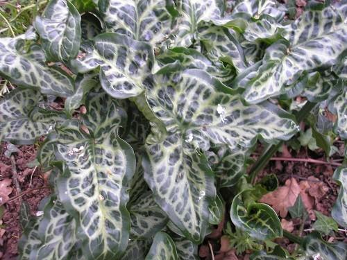 A.italicum marmoratum
