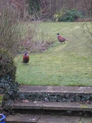 2 pheasants