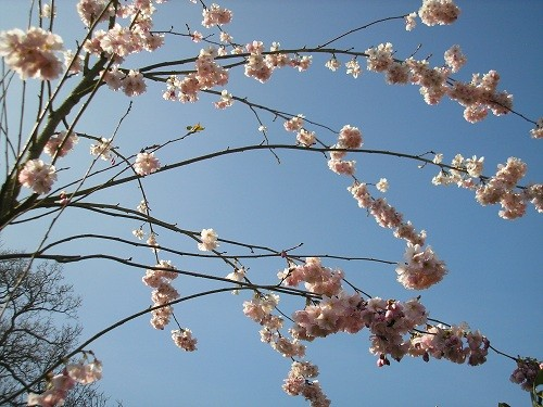 Prunus sub Autumnalis