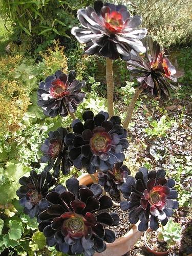 A. zwartcop