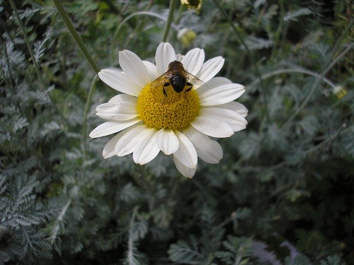 Anthemis with bee