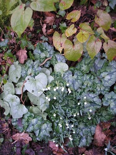 C. hederifolium
