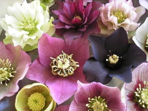 H. flowers