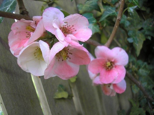 C.Apple Blossom