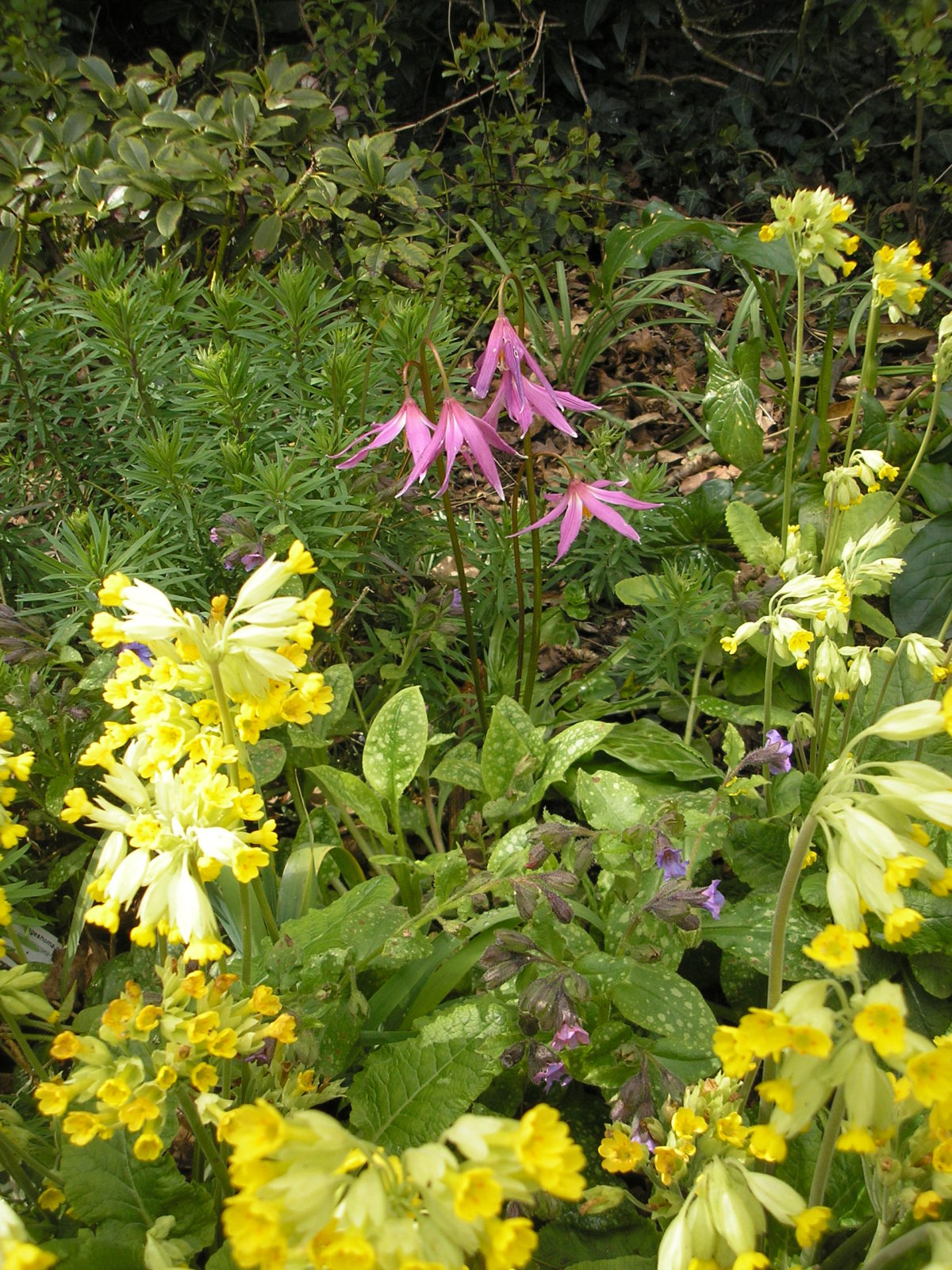 Erythronium Knightshayes Pink with cowslips.