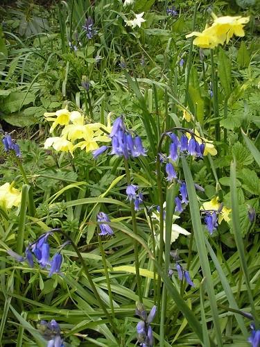 English bluebells, Hyacinthoides non scripta.
