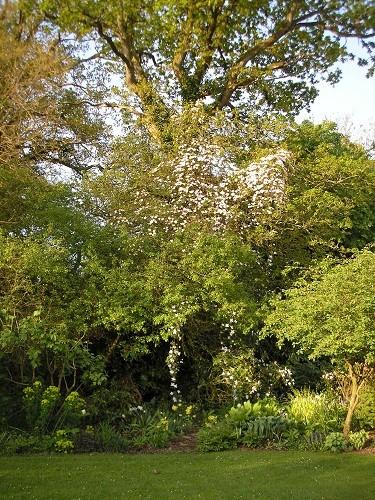 montana with oak