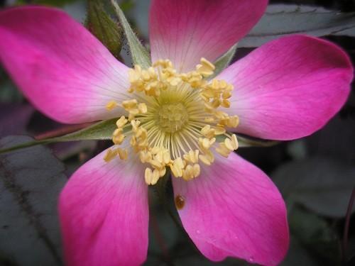 Rosa glauca flower