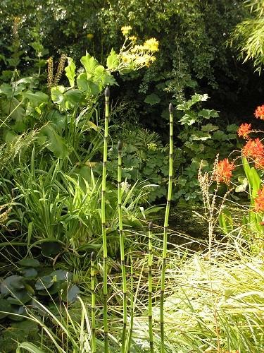 Equesetum hyemale