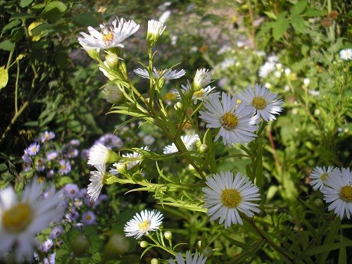 White Michelmas daisy