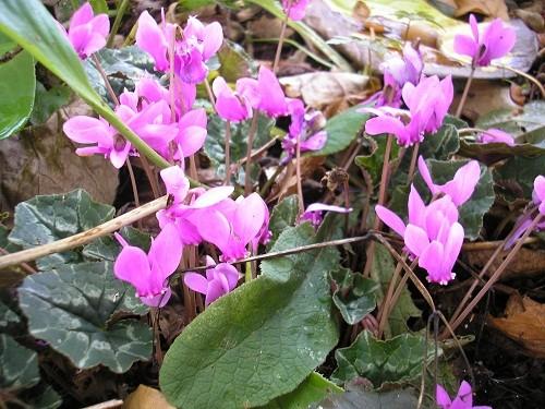C.hederifolium