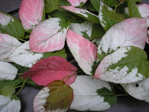 Pink and white leaves