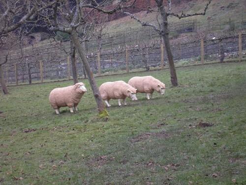 Painswick sheep