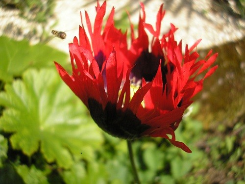 Fringed red poppy