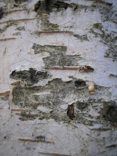 Silver birch seedling
