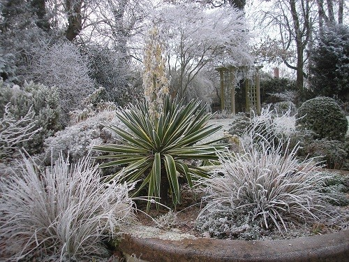 Yucca with frost
