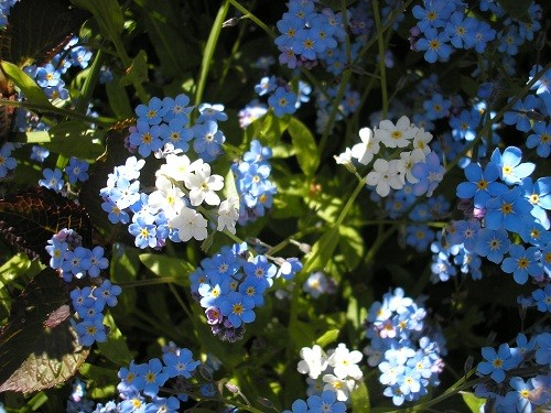 White forget -me-not