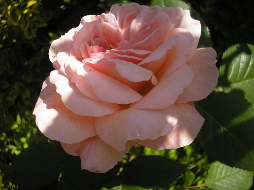 R. Shropshire Lad is a stunning rose with a beautiful perfume. We see this from the kitchen window when doing the dishes.