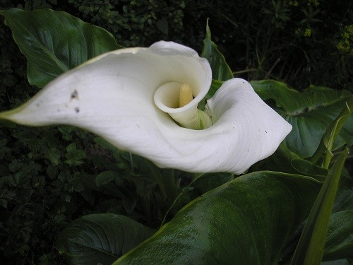 Zantedeschia aethiopica with its huge flowers.