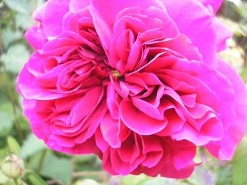 R. The Dark Lady who smells exactly as a dark red rose should - divine!