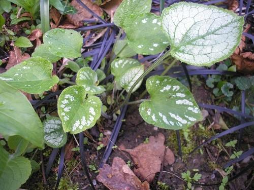 Brunnera Jack Frost seedlings