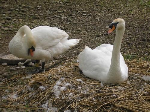 Nesting swans.