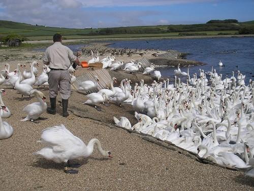 Swan herd.