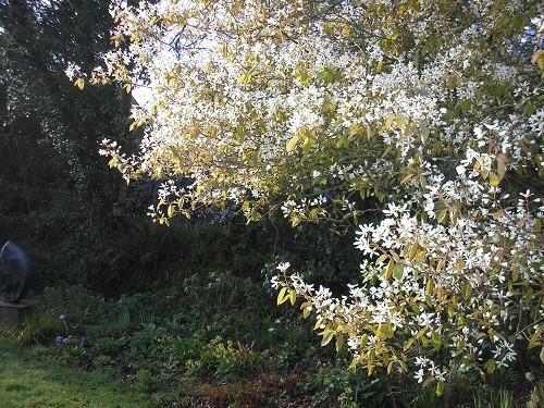 Amelanchier lamarkii