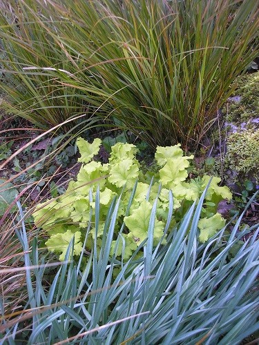 Heuchera, Stipa and narcissus foliage