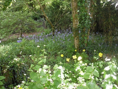 Bluebells with Welsh Poppy.