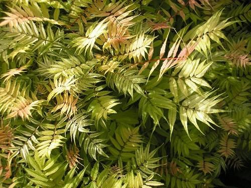 Sorbaria sorbifolia sem.