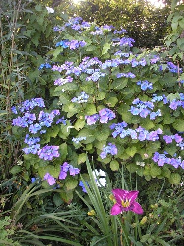 Blue Lacecap hydrangea.