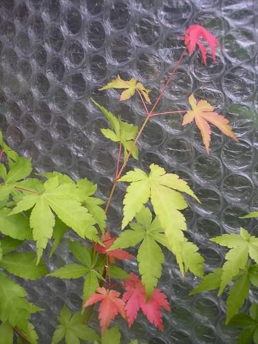 Seedling of Acer Osakazuki