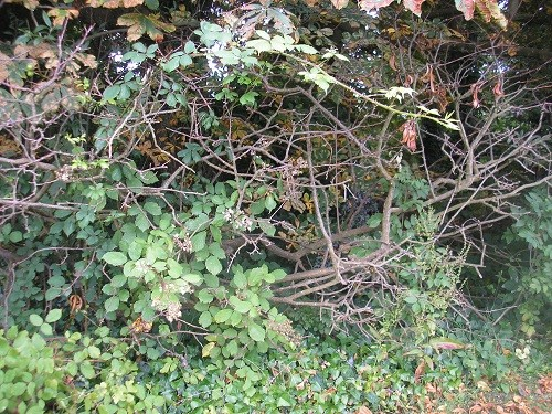 Close up of dead Cotoneaster.