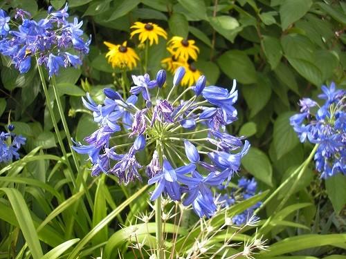Agapanthus and rudbeckia