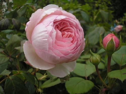 Rose Geoff Hamilton
