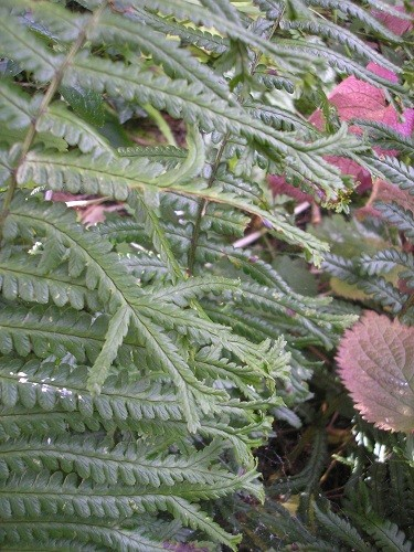 Dryopteris affinis Cristata