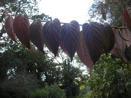 Viburnum plicatum Maresii