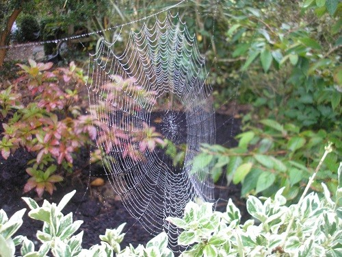 Spider's web in the central bed by the dead oak.