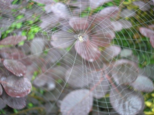 Cotinus, the Purple Smoke Bush supporting a web.