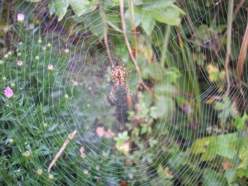 Large spider waiting for some prey.