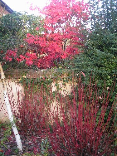 .......this is the view we have of it on our side of the wall, you will see that the cornus leaves have all gone for this year.